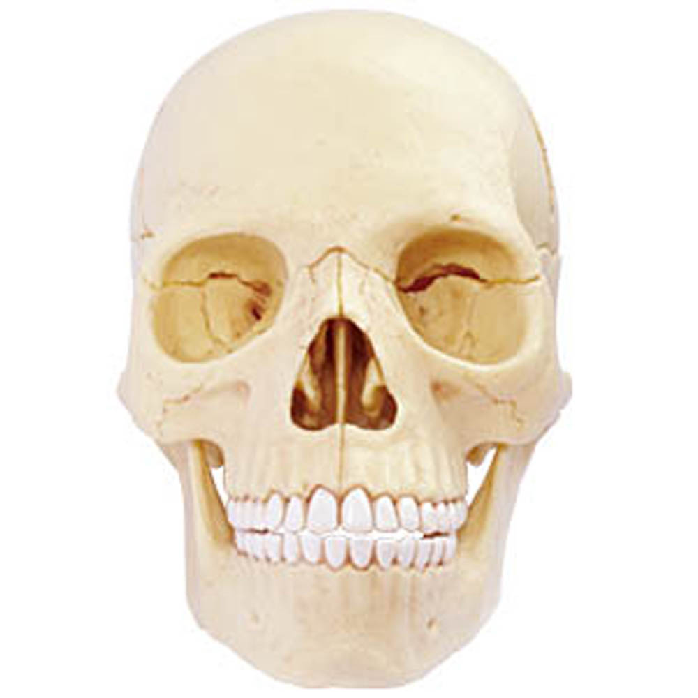Assemble a human skull